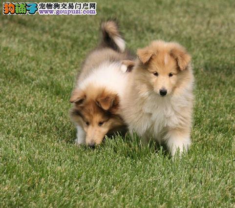 鄂尔多斯纯种健康苏牧幼犬公母都有疫苗做齐签质保协议