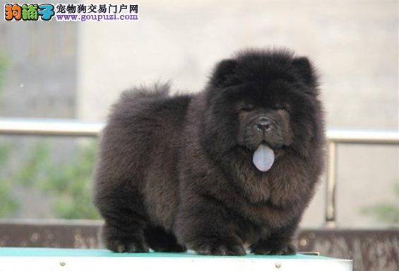 诚信交易黑、白色松狮犬 健康终身保障签协议送狗用品