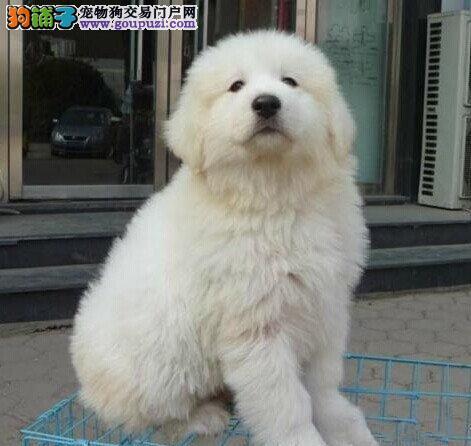 大白熊犬总感冒,流鼻涕怎么办
