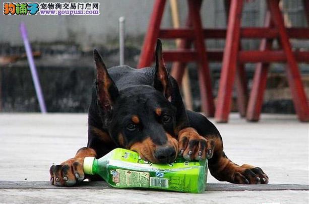 诚信交易、纯种杜宾犬、健康终身保障、签协议送狗用品