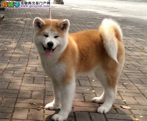 诚信交易、纯种秋田犬、健康终身保障、签协议送狗用品