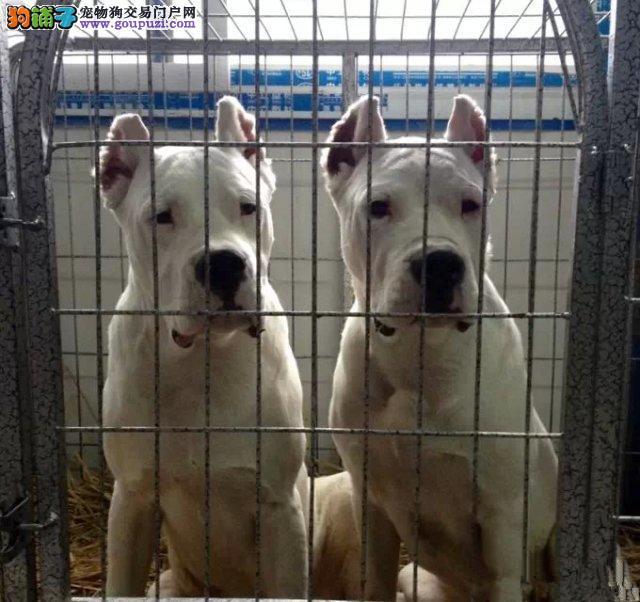诚信交易、纯种杜高犬、健康终身保障、签协议送狗用品