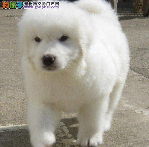诚信交易、纯种大白熊、健康终身保障、签协议送狗用品