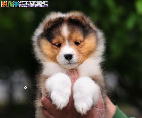 昆明售精品喜乐蒂犬宝宝 种犬可对外配种 签署保证协议
