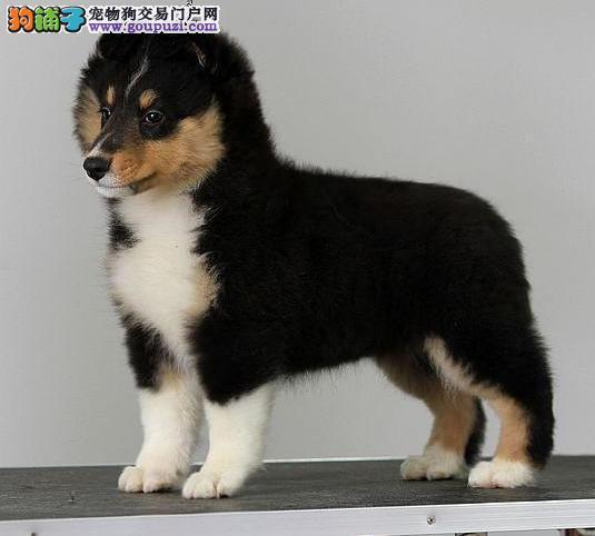 三亚最大犬舍出售多种颜色喜乐蒂质量三包多窝可选