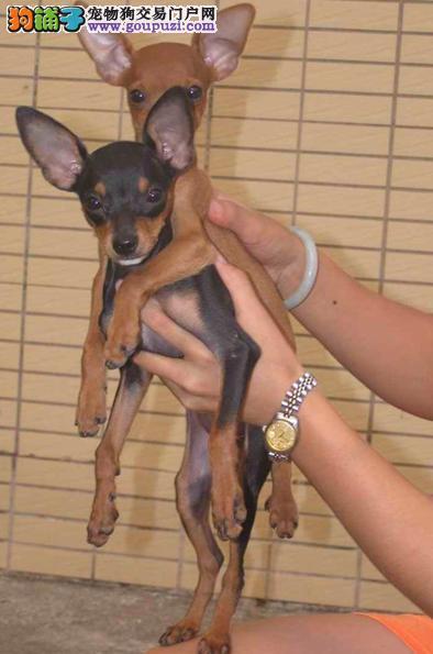 纯种小鹿犬/出售两个多月/纯正血统