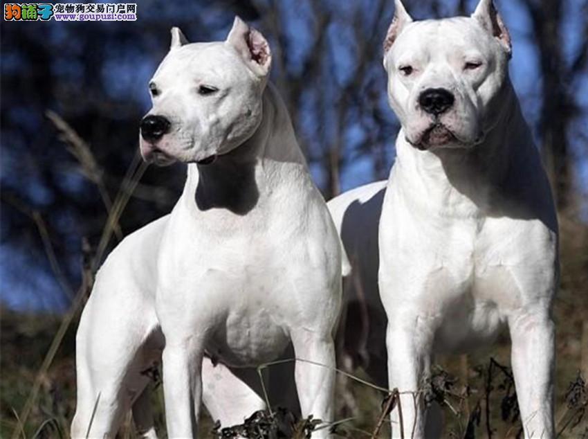 长期出售阿根廷杜高犬