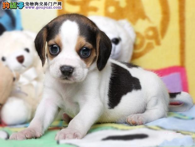 北京哪里有售健康比格犬 北京米格鲁比格犬多少钱一只