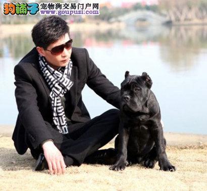 CKU认证犬舍 专业出售极品 卡斯罗犬幼犬期待您的光临