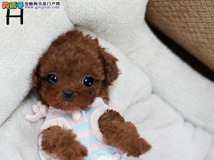 转让极品韩系血统昆明泰迪犬 可办理血统证书