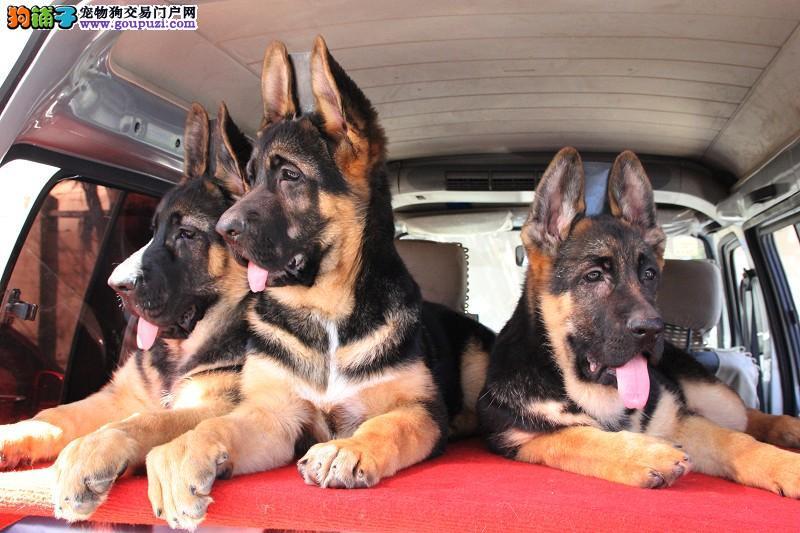 优质昆明犬数量不多 保证品质黄石大型基地繁育