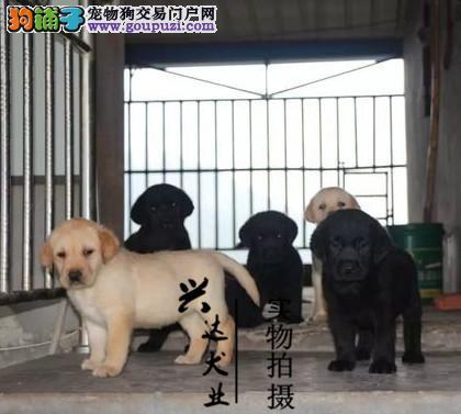 犬舍直销、神犬小七纯种拉布拉多犬、送精美用品