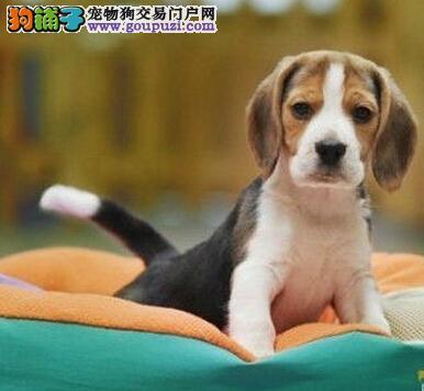 成都哪里有纯种健康的比格幼犬卖成都比格多少钱一只?1