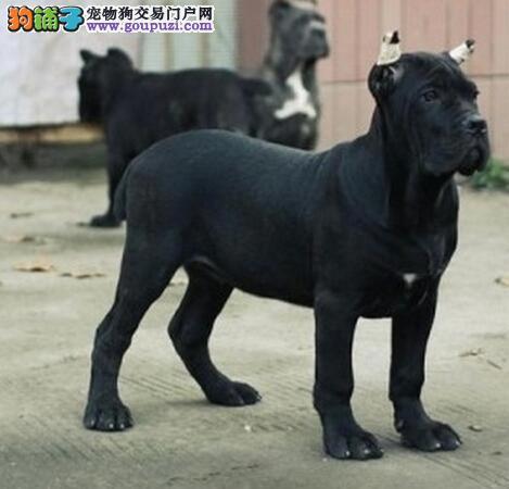 犬舍直销品种纯正健康贵阳卡斯罗犬终身完善售后服务