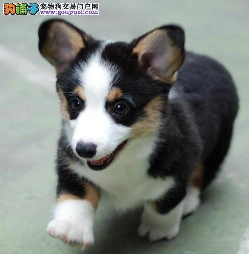 热销多只优秀的纯种柯基幼犬欢迎爱狗人士上门选购