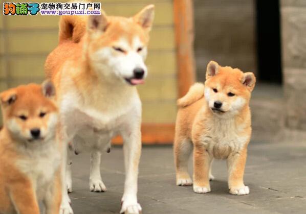专业繁育纯种 健康 日本柴犬疫苗驱虫已做