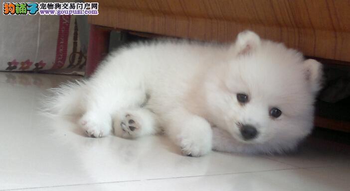 高品质繁殖基地出售纯血统银狐犬幼犬价格优惠疫苗齐全