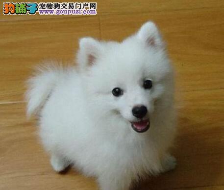 天津纯白色漂亮听话 大眼睛圆脸银狐犬可爱的尖嘴狗狗