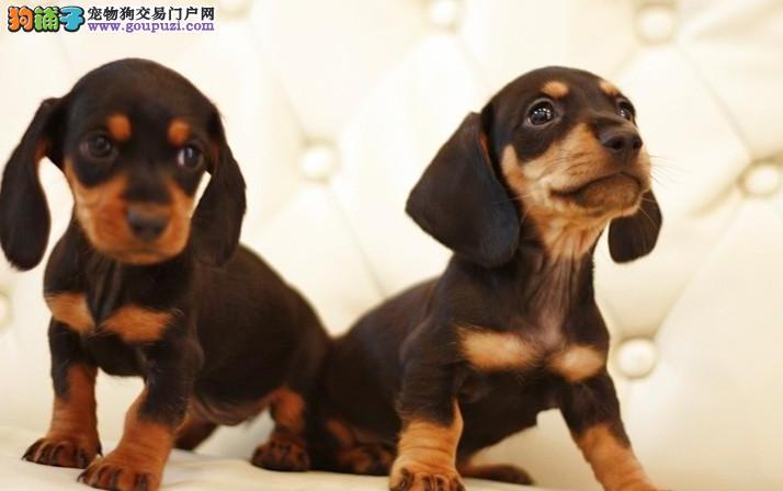 上海出售纯种腊肠犬 专业基地繁殖 品质优保证健康