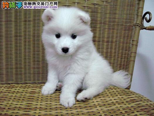 兰州售可爱的小银狐犬打好疫苗驱虫弄好 雪白的小型犬1