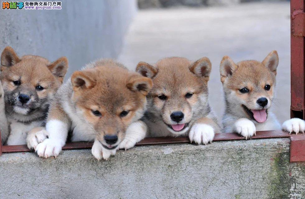 出售柴犬公母都有品质一流微信咨询看狗狗视频