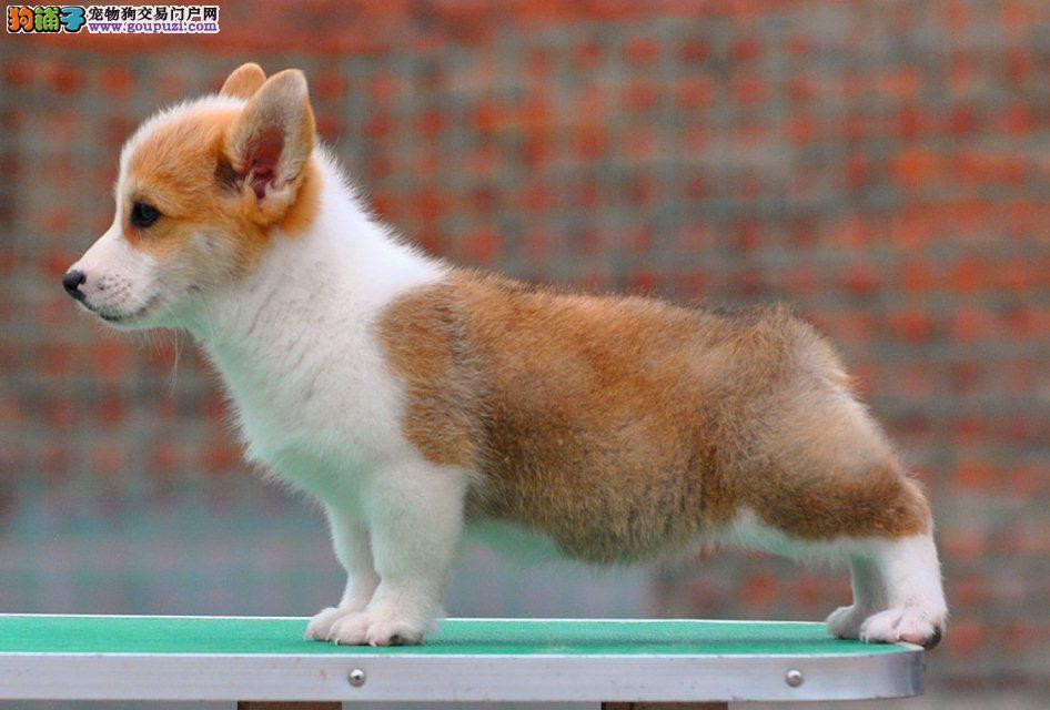 北京威尔士柯基犬女王犬小短腿柯基短毛宠物狗十分可爱