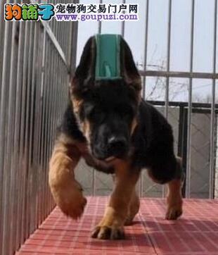 CKU犬舍认证出售高品质狼狗终身完善售后服务