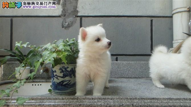 长春聪明伶俐的纯种银狐犬出售品相超棒价格优惠有保障