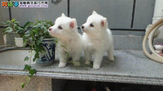 纯种银狐犬 大白熊 萨摩耶 沙皮