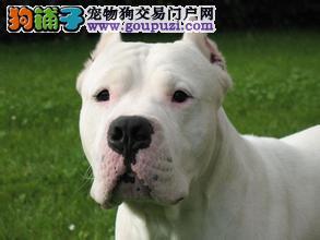 白城市售纯种杜高犬幼犬 阿根廷獒犬防疫齐终身售后