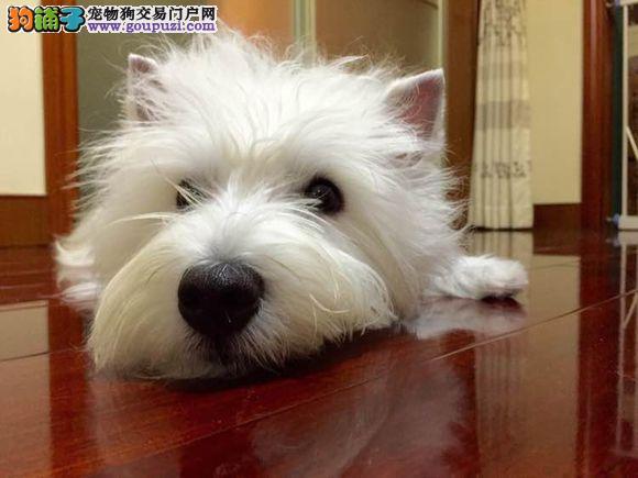 鞍山直销纯种西高地白梗犬 纯白色宠物狗不掉毛无异味