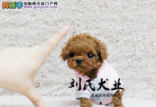北京人繁殖超小体茶杯犬 成年肩高不超过16厘米