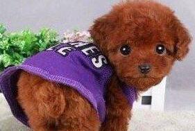 韩系超可爱贵宾天津多只可选 让你爱不释手的狗宝宝