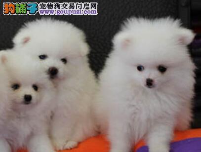 棉花糖甜美脸型的太原博美犬找新家 可随时视频看狗