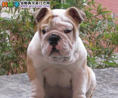 广州买精品英国斗牛犬健康包活多种颜色可选小英牛