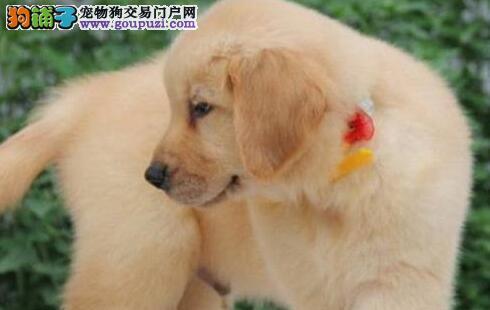 多种颜色的郑州金毛找爸爸妈妈郑州地区可包邮