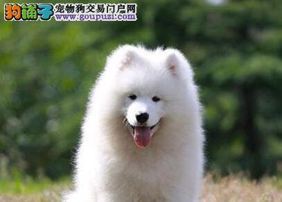 呼和浩特狗场繁殖纯种萨摩耶犬 购犬可以签订售后协议