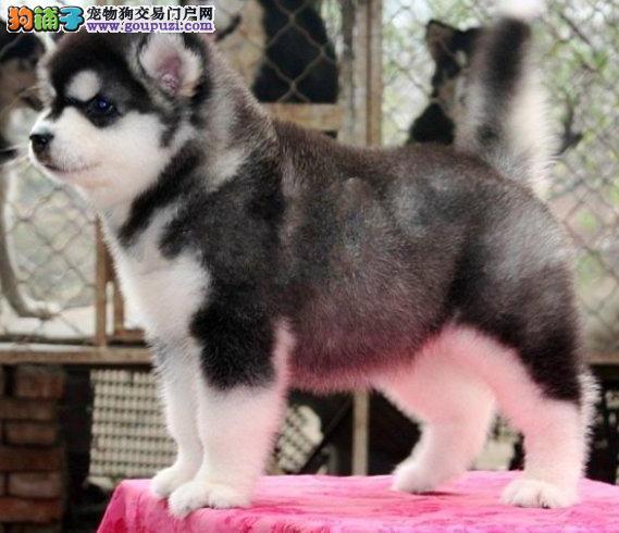重庆售纯种巨型红黑阿拉斯加幼犬签协议质保2 3个月