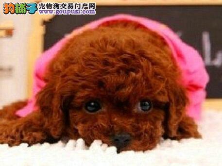 广州贵宾犬价钱 在广州哪里有卖贵宾犬 纯种贵宾犬价钱