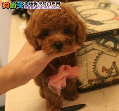 可爱韩系贵阳泰迪犬特价出售中 纯家养保证品质和健康