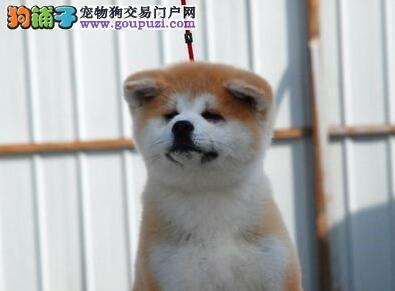 本地出售高品质秋田犬宝宝外地可空运已驱虫
