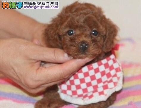 宁波纯种韩国玩具贵宾犬 活泼可爱贵宾宝宝 健康签协议