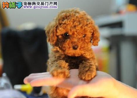 广州纯种贵宾价格 出售纯种贵宾犬 红色纯种贵宾