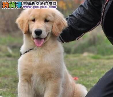天津出售金毛犬黄金猎犬公狗保纯种保养活