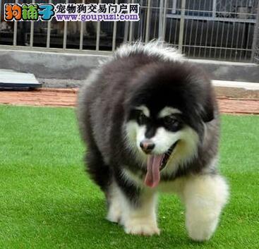家养极品武汉阿拉斯加雪橇犬促销中高品质售后有保障1