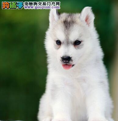 北京纯种哈士奇伴侣犬的最佳选择 欢迎咨询