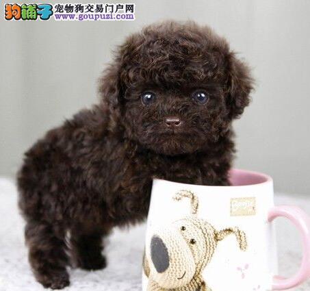 潮州市韩系小体贵宾犬待售 贵妇犬出售
