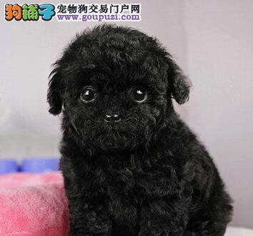 贵宾犬宝宝热销中、金牌店铺品质第一、购犬可签协议