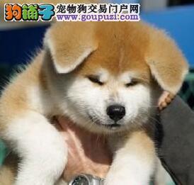 纯种赛级秋田幼犬疫苗齐全健康欢迎可上门选