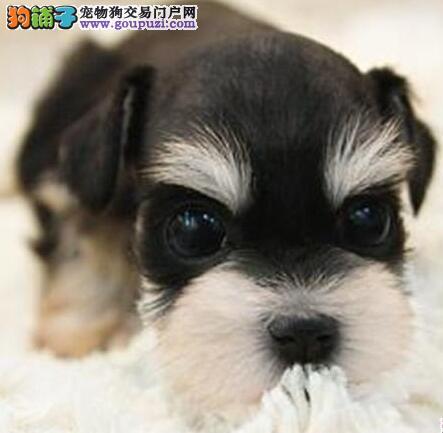 铜仁地区迷你标准雪纳瑞犬转让纯种健康椒盐烟灰色小雪